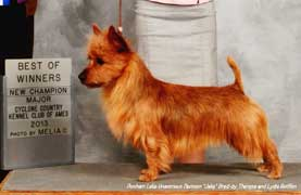 Australian Terrier in the UK
