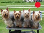 Australian Silky Terrier in the UK