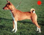 Basenji in the UK