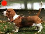 Basset Hound in the UK