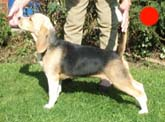 Beagle in the UK