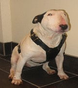 Bull Terrier (English) in the UK