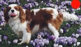Cavalier King Charles Spaniel in the UK