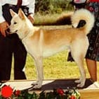 Canaan Dog in the UK