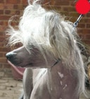 Chinese Crested Dog in the UK