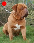Dogue de Bordeaux in the UK