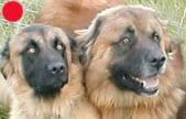 Estrela Mountain Dog in the UK