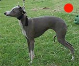 Italian Greyhound in the UK