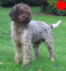 Lagotto Romagnolo in the UK