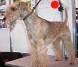 Lakeland Terrier in the UK