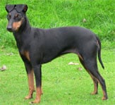 Manchester Terrier in the UK