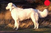 Maremma Sheepdog in the UK