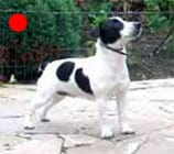 Parson Russell Terrier in the UK
