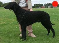 Retriever (Curly Coated) in the UK