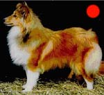 Shetland Sheepdog in the UK