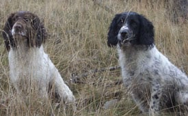 Spaniel (English Springer) in the UK