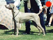 Weimaraner in the UK