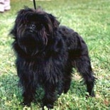 Affenpinscher in the UK