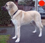 Anatolian Shepherd Dog in the UK