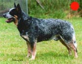 Australian Cattle Dog in the UK