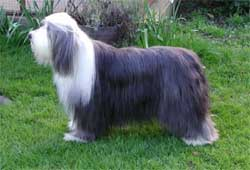 Bearded Collie in the UK