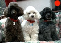 Poodle (Miniature) in the UK