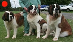 St. Bernard in the UK